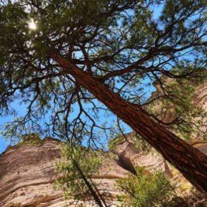 Juniper at Tent Rocks