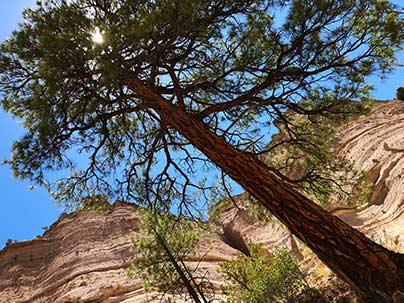 Juniper at Tent Rocks